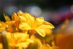 Lis jaunes dans un jardin d'agrément photographie stock libre de droits