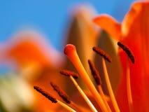Lis orange Photo libre de droits
