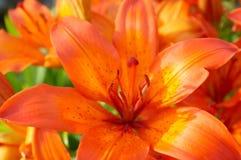 Lis orange Photo stock