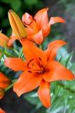 Lis orange Photos stock