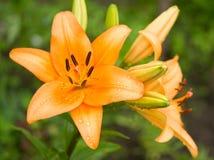 Lis orange Photographie stock libre de droits