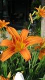 Lis oranges photographie stock libre de droits