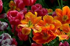 Lis oranges et rouges de tulipe dans diverses étapes de fleur Photos stock