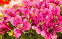 Plan rapproché des usines fleurissantes colorées d'Alstroemeria image libre de droits