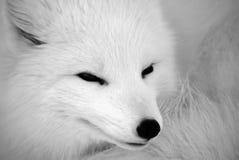 lis polarny Obraz Stock