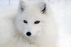 lis polarny Fotografia Royalty Free