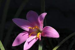 Lis pourpre chargé par pollen lourd à la lumière du soleil naturelle Images libres de droits