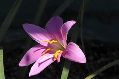 Lis pourpre chargé par pollen lourd à la lumière du soleil naturelle Photographie stock