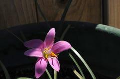 Lis pourpre chargé par pollen lourd à la lumière du soleil naturelle Photo stock
