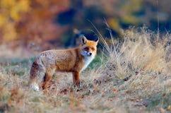 lis przyroda Fotografia Stock