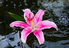 Lis rose. Photo stock