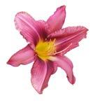 Lis rose Photographie stock libre de droits