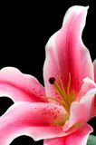 Lis rose Photo libre de droits
