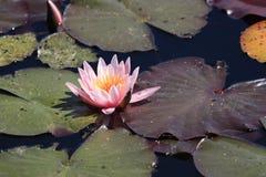 Lis rose dans un étang Photos stock