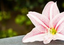 Lis rose lumineux Image stock