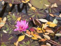Lis rose lumineux sur l'étang image stock