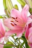 Lis roses avec des baisses de rosée photos stock
