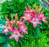 Lis roses et blancs avec le fond vert de foilage Photographie stock