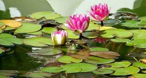 Lis roses fleurissants dans un étang photographie stock