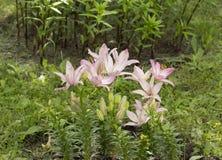 Lis roses fleurissants, grandes fleurs avec des bourgeons photo libre de droits