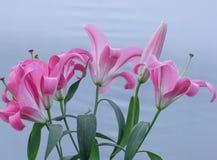 Lis roses frais Photo libre de droits