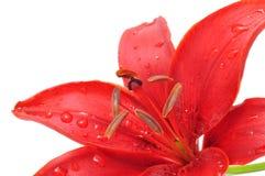 Lis rouge avec des baisses de rosée Photographie stock