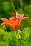 Lis rouge avec un lat blanc d'aubépine de papillon Crataegi d'Aporia photos libres de droits