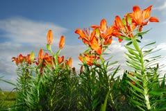 Lis rouges dans un jardin Images stock