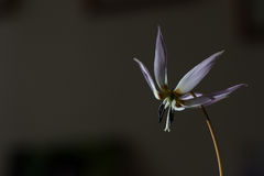 Lis sauvage, repaire-canis d'Erythronium photo stock