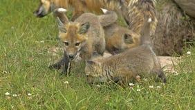 lis szczeni się czerwień Fotografia Royalty Free
