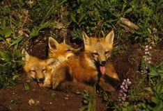 lis szczeni się czerwień Zdjęcia Royalty Free