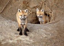 lis szczeni się czerwień dwa Zdjęcia Royalty Free
