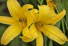 Lis tigrés jaunes Photos libres de droits