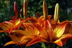 Lis tigrés oranges dans le jardin au coucher du soleil images stock