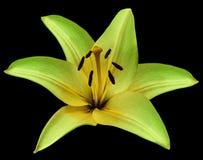 lis Vert-jaune de fleur sur le fond noir d'isolement avec le chemin de coupure closeup Belle fleur vert clair pour la conception Photo stock