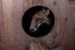 lis w dziurze, zwierzęta, czerwony lis zdjęcia stock