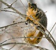 lis wiewiórka Obrazy Royalty Free