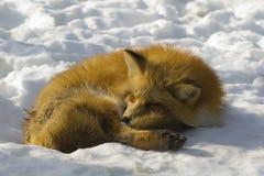 lis zimy. zdjęcia stock