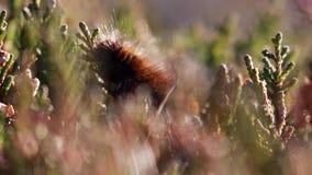 lisa ćma gąsienica, Macrothylacia rubi, zakończenie up podczas gdy karmiący na wrzosie pączkuje na górze w Scotland podczas jesie zbiory