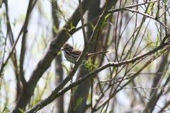lisa iliaca passerella wróbel Fotografia Stock