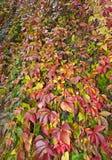 Lisa jesienny dziki wino Obraz Royalty Free