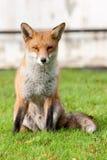 lisa przebiegły czerwony siedzący Obrazy Royalty Free