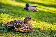 Lisboa, Portugal - enero de 2018 Parque y jardín de Gulbenkian los patos salvajes Brown-grises en hierba verde descansan en el pa Imagen de archivo