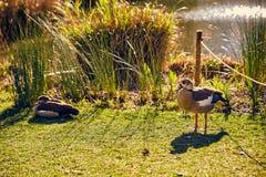 Lisboa, Portugal - enero de 2018 Parque y jardín de Gulbenkian los patos salvajes Brown-grises en hierba verde descansan en el pa Imagen de archivo libre de regalías