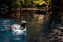 Lisbon Oceanarium - Bird Swimming. The Lisbon Oceanarium, Portugal. It is located in the Nations Park, which was the exhibition grounds for the Expo '98. It is Royalty Free Stock Photos