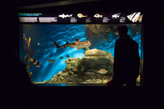 Lisbon Oceanarium - Looking at Fish Tank South Australia Fishes. The Lisbon Oceanarium, Portugal. It is located in the Nations Park, which was the exhibition Stock Images