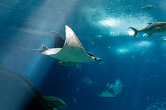 Lisbon Oceanarium manta ray Royalty Free Stock Photos