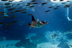 Lisbon Oceanarium manta ray Stock Images
