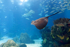 Lisbon Oceanarium ray Royalty Free Stock Image
