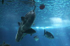 lisbon oceanarium samogłów Zdjęcie Royalty Free